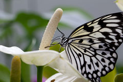Borboleta em uma flor Imagem de Stock