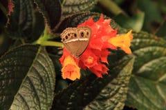 Borboleta em uma flor Fotos de Stock
