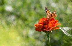 Borboleta em uma flor Fotografia de Stock