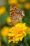 A borboleta em uma flor amarela Fotos de Stock Royalty Free