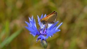 Borboleta em uma flor azul em Zwolle fotos de stock royalty free