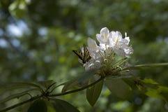 Borboleta em uma flor branca Foto de Stock Royalty Free