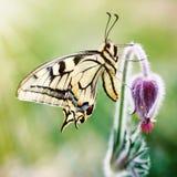 Borboleta em uma flor da mola foto de stock royalty free