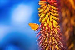 Borboleta em uma flor do sunbird Foto de Stock Royalty Free