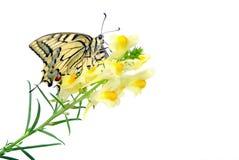 Borboleta em uma flor isolada no branco Borboleta de Swallowtail, machaon de Papilio imagens de stock