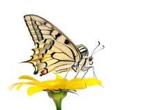 Borboleta em uma flor isolada no branco Borboleta de Swallowtail, machaon de Papilio imagem de stock