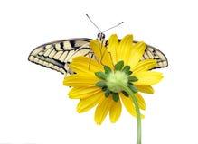 Borboleta em uma flor isolada no branco Borboleta de Swallowtail, machaon de Papilio foto de stock royalty free