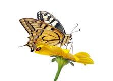 Borboleta em uma flor isolada no branco Borboleta de Swallowtail, machaon de Papilio imagens de stock royalty free