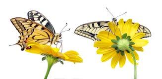 Borboleta em uma flor isolada no branco Borboleta de Swallowtail, machaon de Papilio fotos de stock royalty free