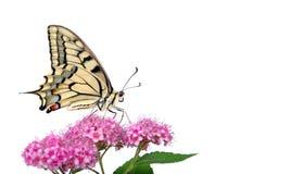 Borboleta em uma flor isolada no branco Borboleta de Swallowtail, machaon de Papilio foto de stock