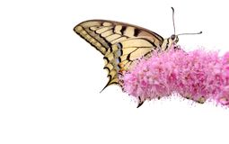 Borboleta em uma flor isolada no branco Borboleta de Swallowtail, machaon de Papilio fotografia de stock