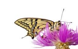 Borboleta em uma flor isolada no branco Borboleta de Swallowtail, machaon de Papilio imagem de stock royalty free