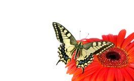 Borboleta em uma flor isolada no branco Flor do Gerbera Borboleta de Swallowtail, machaon de Papilio Copie espaços imagens de stock