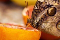 Borboleta em uma laranja Foto de Stock Royalty Free