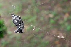 Borboleta em uma Web de aranha Imagens de Stock
