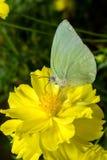 Borboleta (emigrante do limão) Fotografia de Stock