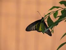 A borboleta empoleirou-se nas folhas com um fundo marrom da parede imagens de stock royalty free
