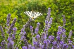 Borboleta escassa do podalirius de Iphiclides da borboleta do swallowtail em flores roxas da alfazema fotografia de stock royalty free