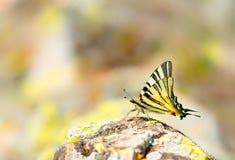 Borboleta escassa do swallowtail na rocha da montanha foto de stock royalty free