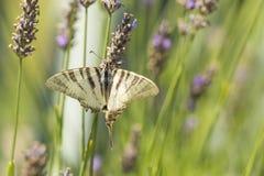 Borboleta escassa o do podalirius de Iphiclides da borboleta do swallowtail fotografia de stock royalty free