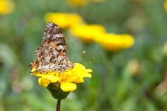 borboleta Escovar-footed e flores amarelas imagem de stock royalty free