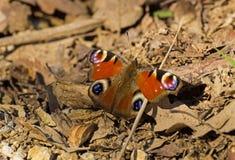 A borboleta está carregando no sol Imagens de Stock