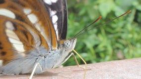 A borboleta está comendo minerais na rocha filme