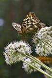 A borboleta está em uma flor Fotos de Stock Royalty Free