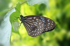 A borboleta está fazendo um casulo Fotos de Stock Royalty Free