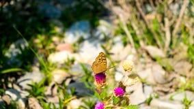 A borboleta está sugando a água doce das flores Imagem de Stock