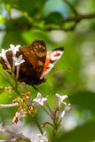 Borboleta Flor selvagem Imagens de Stock