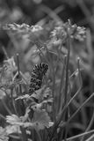 Borboleta futura de Swallowtail imagens de stock royalty free