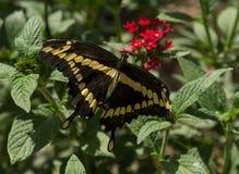 Borboleta gigante de Swallowtail Foto de Stock Royalty Free