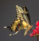Borboleta gigante de Swallowtail na flor do Jatropha, Seminole, Florida foto de stock royalty free