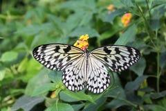 Borboleta gigante Singapura, jardim da borboleta de minha casa fotografia de stock royalty free