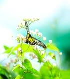 Borboleta glassy amarela do tigre imagens de stock