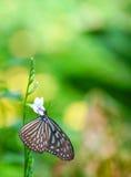 Borboleta Glassy azul do tigre imagens de stock