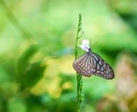 Borboleta Glassy azul do tigre imagem de stock royalty free