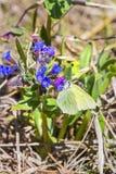 Borboleta Gonepteryx, o dacica Simonk de Pulmonaria da planta Foto de Stock Royalty Free