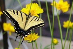 Borboleta impressionante do swallowtail na flor do coreopsis foto de stock royalty free