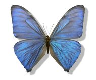 Borboleta iridescente azul Imagens de Stock Royalty Free