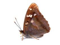 Borboleta - Lesser Purple Emperor (ilia do Apatura) Imagens de Stock