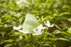 Borboleta levemente defocused e flor branca da cor Fotografia de Stock Royalty Free