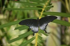 Borboleta lindo de Pipevine Swallowtail com as asas estendidas fotos de stock