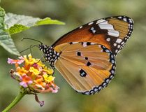 Borboleta lisa comum do tigre Imagens de Stock Royalty Free