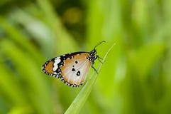 Borboleta lisa do tigre Foto de Stock Royalty Free