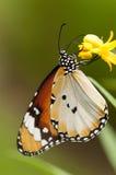 Borboleta lisa do tigre Fotografia de Stock Royalty Free
