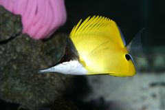 Borboleta longa amarela Nemo do nariz Imagens de Stock