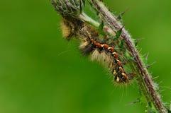 Borboleta macia da lagarta em uma manhã do verão da haste do cardo Fotos de Stock