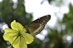 Borboleta magnífica em uma flor amarela Imagens de Stock